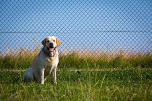 Labrador vor Maschendrahtzaun